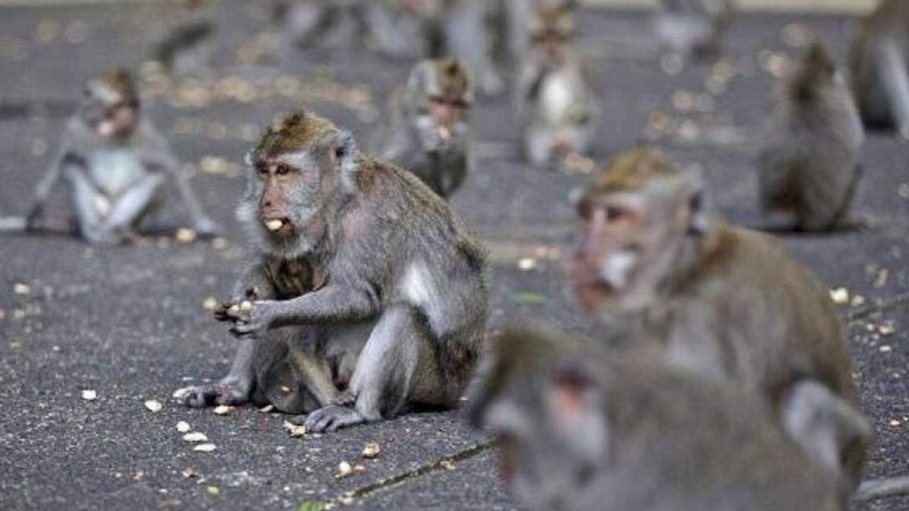 Ilustrasi kawanan monyet. (Istimewa)